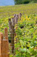 vineyard domaine g amiot & f chassagne-montrachet cote de beaune burgundy france