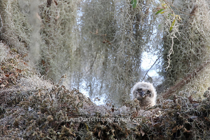 Great horned owl chick in nest h