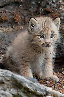 Canada Lynx kitten on an old log - CA