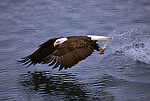 A bald eagle catches a fish in its talons in Southeast Alaska.
