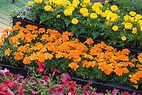Annual Garden of marigolds, petunias, lobelia