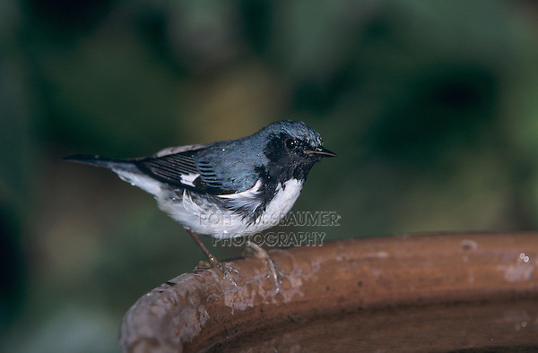 Black-throated Blue Warbler, Dendroica caerulescens,male at bird bath, Rocklands, Montego Bay, Jamaica, January 2005