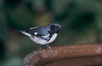 Black-throated Blue Warbler, Dendroica caerulescens,male at bird bath, Rocklands, Montego Bay, Jamaica, January 2005