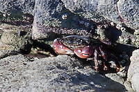 A lined shore crab, also known as striped shore crab, crouches in a crevice at Bean Hollow State Beach, California