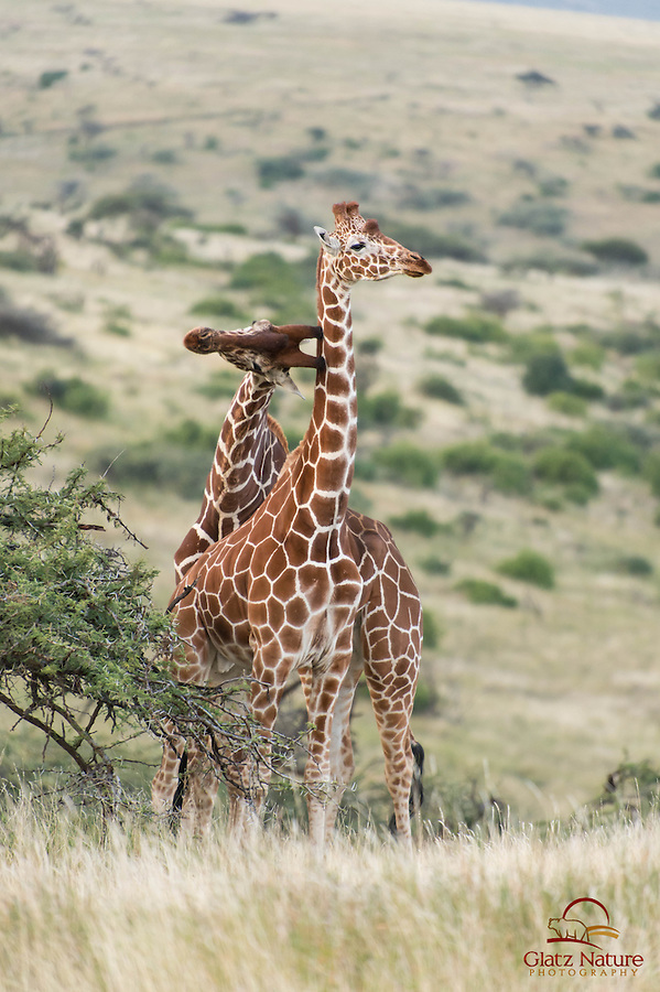 """Reticulated Giraffe (Giraffa camelopardalis reticulata) scores a hit, Lewa; males fight for dominance and to establish breeding rights - this is known as """"necking"""""""