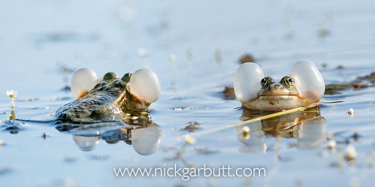 Male European marsh frogs (Pelophylax / Rana ridibundus) vocalising / calling during breeding season. Danube Delta, Romania. May