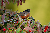 American Robin, Turdus migratorius, perched on a fall dogwood tree full of red berries