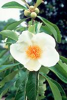 Franklin Tree, native American Franklinia alatamaha in white flower in spring
