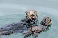 Sea Otter (Enhydra lutris) mom with pup feeding in sheltered bay on Prince William Sound, Alaska.  Spring.
