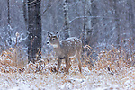 Snow falling on a fawn white-tailed buck in northern Wisconsin.