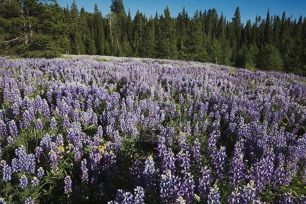 Silky Lupine (Lupinus sericeus), Grand Teton National Park, Wyoming, USA