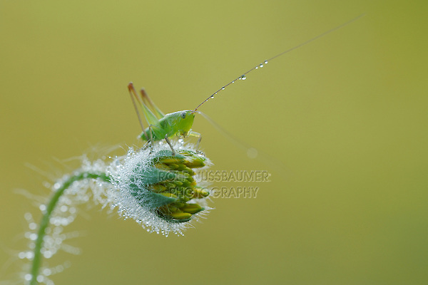 Grasshopper (Acrididae), Fennessey Ranch, Refugio, Corpus Christi, Coastal Bend, Texas Coast, USA