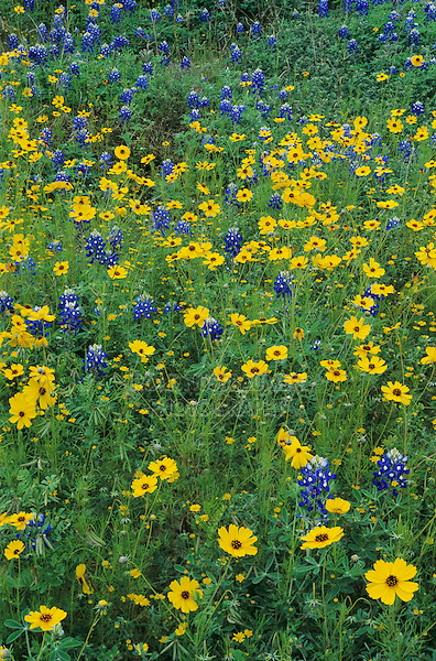 Texas Bluebonnet Greenthread and Parralena, San Antonio, Bexar County ,Texas, USA