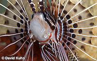 0130-1001  Antennata Lionfish (Broad-Banded Firefish, Spotfin Lionfish), Pterois antennata  © David Kuhn/Dwight Kuhn Photography