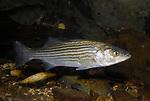 Striped Bass swimming on gravel/cobble bottom.