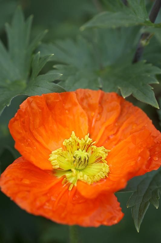 Orange poppy. Schreiner's Iris Gardens. Oregon
