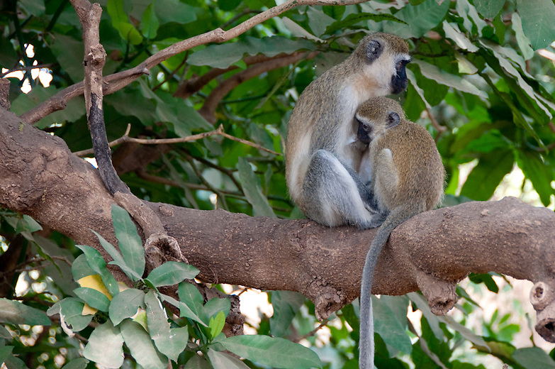 The Ververt Monkey feeds on all kinds of fruits, seeds, seedpods, leaves, buds, sap, flowers, herbs, and grasses. It will also eat things like lizards, birds eggs, and insects. Ververts are very caring of their young...The Vervet Monkey uses different sounds to warn of different types of predators; they have distinct calls to warn of the sighting of a leopard, a snake, or an eagle.  The Vervet Monkey is quickly disappearing in the Western Cape of South Africa where they are heavily persecuted.