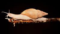 O Subulinidae,  conhecido como caracol de jardim em quintal de casas na cidade de Rio Branco, Acre..<br /> <br /> Subulinidae é uma família de pequenos caracóis terrestres de respiração aérea, moluscos de gastrópodes pulmonares terrestres na superfamília Achatinoidea .<br /> Rio Branco, Acre, Brasil.<br /> Foto Altino Machado.