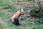 Red fox sitting wide shot