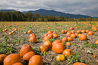 Pumpkin field near the blue ridge mountains in rural virginia. Credit Image: © Andrew Shurtleff