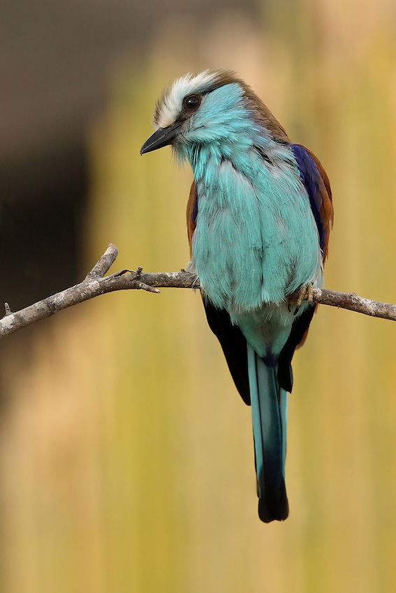 """The Racket-tailed Roller (Coracias spatulatus) is a species of bird in the Coraciidae family. This specimen is missing its """"rackets""""."""