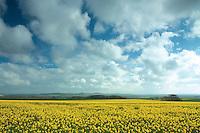 Oil Seed Fields, Gullane, East Lothian