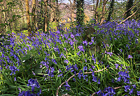 High Wycombe, UK. 16th April, 2020.<br /> Carpets of bluebells in woodland in Booker, High Wycombe during the Covid-19 Pandemic as the UK Government advice to maintain social distancing and minimise time outside in High Wycombe on 16 April 2020. Photo by PRiME Media Images