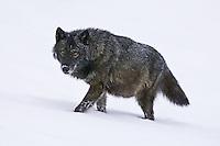 Grey Wolf walking through the snow - CA
