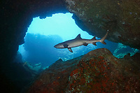 whitetip reef shark, mano-lala-kea, Triaenodon obesus, in cave, French Frigate Shoals, Papahanaumokuakea Marine National Monument, Northwestern Hawaiian Islands, USA, Pacific Ocean