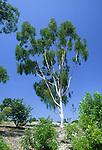 2875-CD Lemon-Scented Gum, Eucalyptus citriodora, at South Coast Bot. Garden, CA.