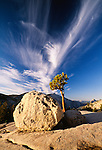 Jeffrey pine and granite boulder, Olmstead Point, Yosemite National Park, California, USA