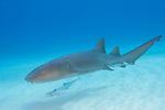 Tiger Beach, Grand Bahama Island, Bahamas; a nurse shark swimming over the shallow sandy bottom