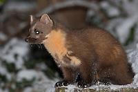Baummarder, junges Männchen, Rüde, Baum-Marder, Edelmarder, Edel-Marder, Marder, Martes martes, European pine marten
