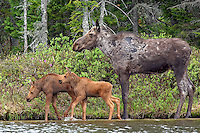 #M34 Cow Moose with Twin Calves