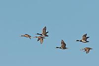 Mallard Ducks in flight, Bosque del Apache NWR