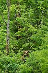 Six ours bruns agés de un à six ans sont hébergés dans les enclos de Kuterevo. La population d'ours bruns en Croatie est estimée entre 400 et 600 individus.Six brown bears are living in the bear orphenage of Kuterevo in the Velebit mountains. Beetween 400 and 600 bears live in the croatian mountains.