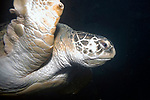 Green Sea Turtle close-up near surface facing right