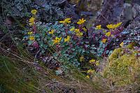 Wildflowers, Stuart Island, San Juan Islands, Washington, US