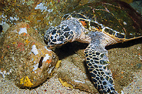 Hawksbill Turtle, Eretmochelys imbricata, eating sponges off a rock, Fish Rock, South West Rocks, New South Wales, Australia, South Pacific Ocean