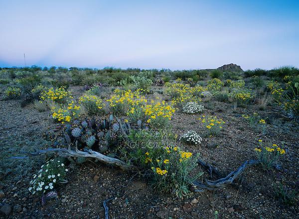 Desert in bloom with Paper Flower, Plains Black-foot, Big Bend National Park,Texas, USA