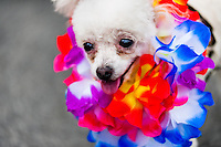 A poodle dog, dressed in a fancy costume, participates in the Blocao pet carnival show at Copacabana beach in Rio de Janeiro, Brazil, 12 February 2012.