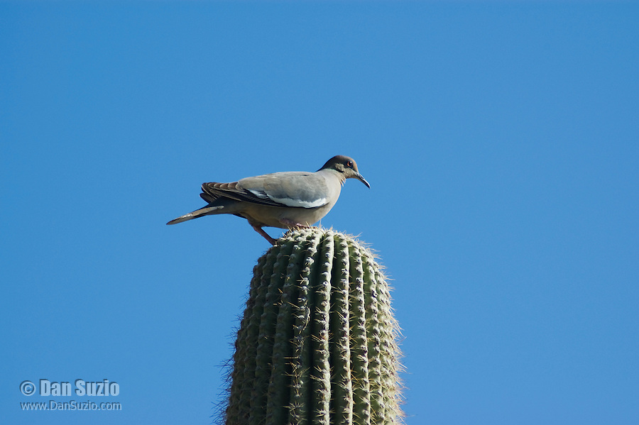 White-winged dove, Zenaida asiatica, on saguaro, Carnegiea gigantea. Arizona-Sonora Desert Museum, Tucson, Arizona