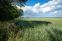 Wheat in ear - Lincolnshire, July