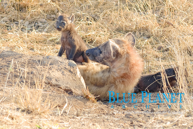 Spotted hyenas (Crocuta crocuta), lying mother with two young at the burrow entrance, Kruger National Park, South Africa, Africa