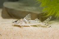 pictus catfish, Pimelodus pictus ( c )