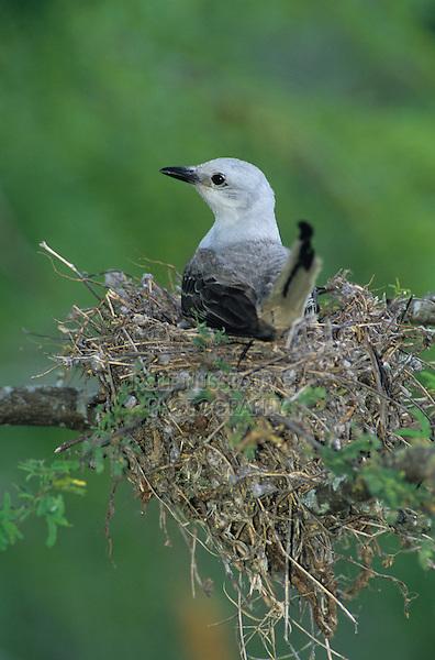 Scissor-tailed Flycatcher, Tyrannus forficatus,adult on nest, Welder Wildlife Refuge, Sinton, Texas, USA, June 2005