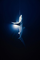 pelagic thresher, Alopias pelagicus, being hooked on longline fishing, and scuba diver with light, Cocos Islands, Costa Rica, Pacific Ocean