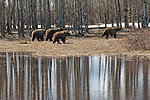 Grizzly bear No. 399 and her cubs travel near an aspen grove in Grand Teton National Park, Wyoming.
