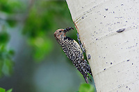 Williamson's Sapsucker,Sphyrapicus thyroideus, adult female with ant prey at nesting cavity in aspen tree, Rocky Mountain National Park, Colorado, USA, June 2007