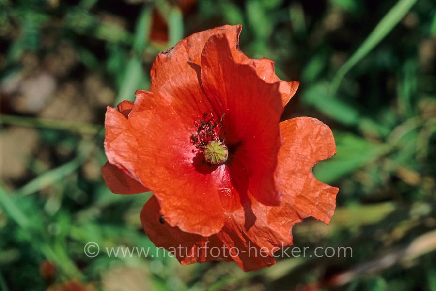 Mohn-Mauerbiene, Mohnmauerbiene, trennt kleine Stückchen aus den Blütenblättern der Mohnblume, Mohn heraus, Osmia papaveris, Hoplitis papaveris, Poppy Bee
